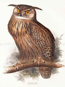 PAINTING-BIRDS-GOULD-LEAR-EAGLE-OWL-ART-PRINT-POSTER-LAH539A
