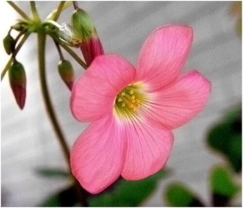 30 Glücksklee vierblättriger Klee Blumenzwiebeln Knollen rot Blume