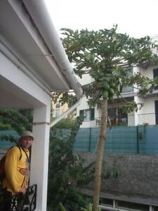 Papaya samen frisches obst gem se vom fensterbrett - Fensterbrett deko ...