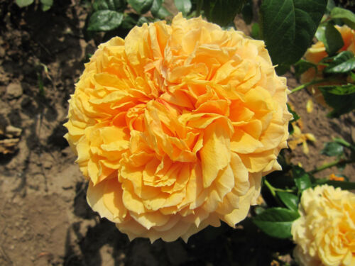 LEAH TUTU Fragrant Repeat Flowering 5.5lt Potted Shrub Garden Rose Yellow