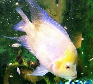 4-Golden-Flame-Red-Dragon-Flowerhorn-2-3-034-Live-Freshwater-Aquarium-Fish