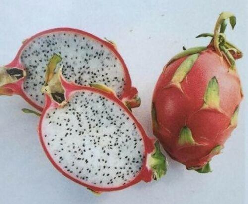 Radicata Pitaya Frutto del Drago pianta plant Hylocereus Undatus rosso rooted