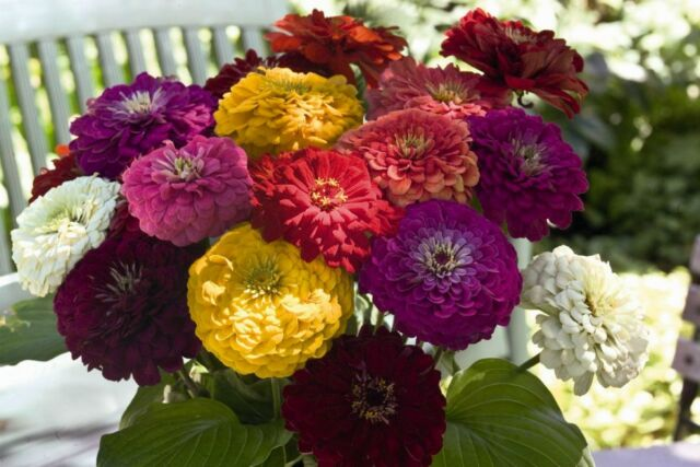 Zinnia - Giant Flower Heads! MANY COLORS! 4 FT TALL! Comb.S/H! SEE OUR STORE