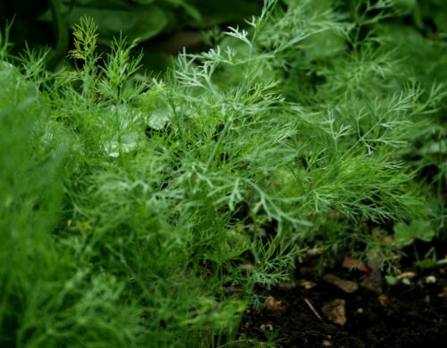 Bouquet 2019 Seeds     $1.69 Max 1,300 Dill Herb Seeds Shipping Per Order