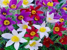 PASQUE FLOWER MIX ANEMONE - 70 SEEDS - Pulsatilla vulgaris - ROCKERY FLOWER