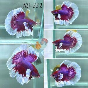(HB-332) Butterfly Dumbo Lavender Halfmoon-Live Halfmoon Betta Fish High Quality