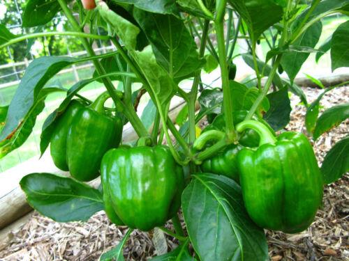 Paprika  Grünes Wunder 200 Samen  Capsicum Annuum