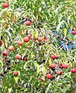 20 himalayan dogwood strawberry tree white pink flower red fruit image is loading 20 himalayan dogwood strawberry tree white amp pink mightylinksfo