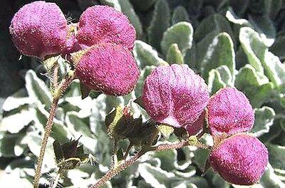 Calceolaria nitida or Colla 20 seeds