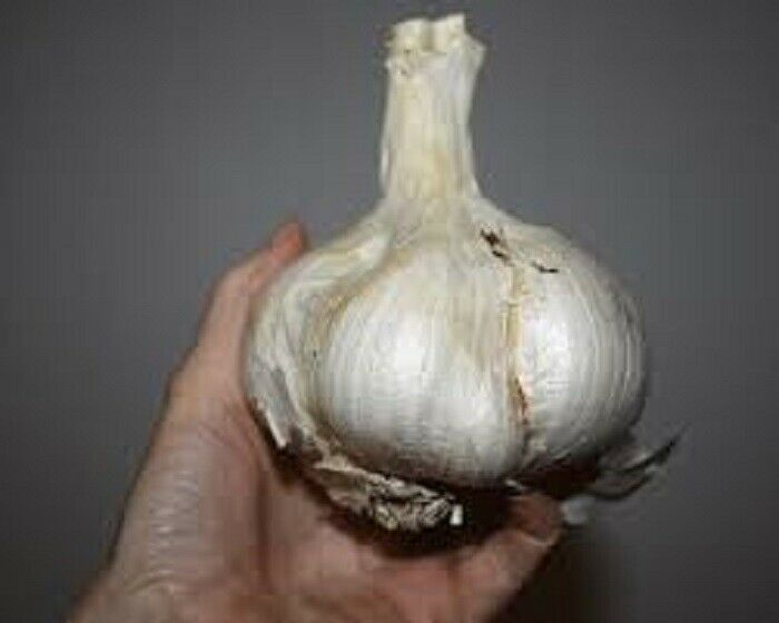 Russian Giant 25 Garlic Fresh Cloves Seeds From Large bulb(Planting Now 2021 )