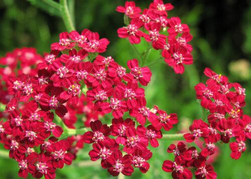 Rouge Mouton Garbe 200 graines Achillea Millefolium Sarracenia