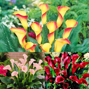 Am-100Pcs-Calla-lily-Zantedeschia-Seed-Plant-Bonsai-Flower-Home-Office-Garden-D
