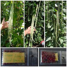 Green ''Long Yard'' Climbing Bean ~30 Top Quality Seeds - XXL Size!