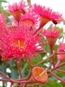 Seedeo ® Rouge Eucalyptus (eucalyptus Ficifolia) 25 Graines-afficher Le Titre D'origine Une Large SéLection De Couleurs Et De Dessins