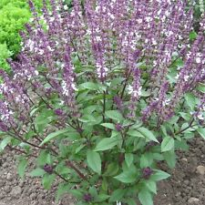 Herb Seeds-basilico cannella - 1000 Semi