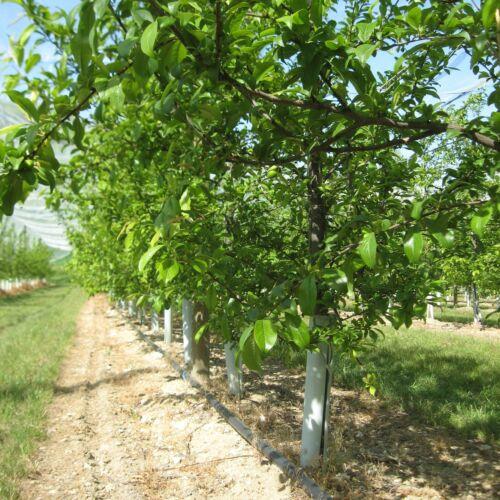20x TUBEX Fruitwrap Verbissschutz  Baumschutz Obstbau Rebschutz 60 cm Ø 65-80mm