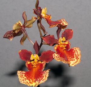 Rare-orchid-hybrid-seedling-Tolumnia-Golden-Sunset