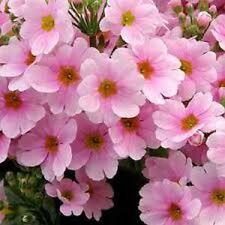 50+  Pink Fairy Primrose Flower Seeds / Primula Malacoides / Perennial