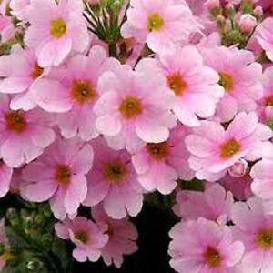 50 Pink Fairy Primrose Flower Seeds Primula Malacoides
