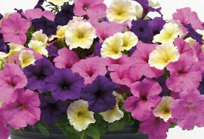 Petunia Easy Wave Spring Colors Mix Annual Flowering Live Plants