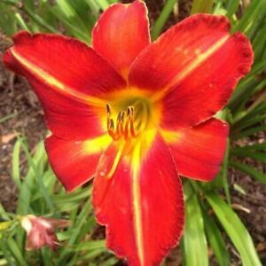Hemerocallis-CHICAGO-FIRE-Hemerocalle-Plant