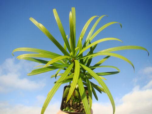 Sempreverde PINO buddista arils commestibile simili al tasso Prugna Pino Podocarpus macrophylus