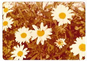 Vintage 70s PHOTO Close Up Daisy Plant Daisies Flowers   eBay