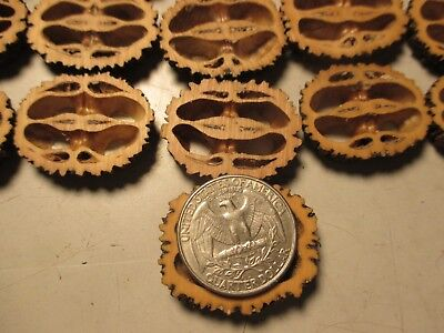 "Black Walnut Shells Slices 1-1//4/""  X 1//4/"" Thick 55 Piece Free Shipping"