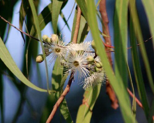 citriodora Zitronenduft 50 Samen Zitronen-Eukalyptus Corymbia Eucalyptus