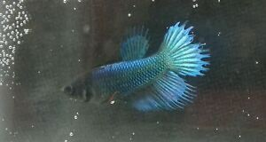 Blue young female Crowntail live Betta fish USA SELLER F-07