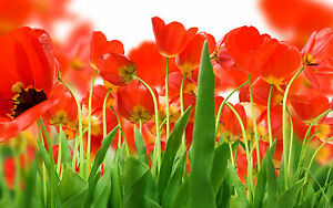 Framed-Print-Bright-Red-Blooming-Poppies-Picture-Poster-Poppy-Flower-Art