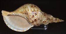 Conchiglia Shell  CHARONIA TRITONIS  mm 290  Bohol ( Filippine )  Poco Comune