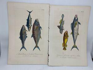Original-Antique-Hand-Colored-Fish-Print-Lacepede-1840-Plates-55-amp-56-Cuvier