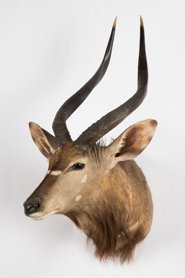 Jagttrofæ, Antilope