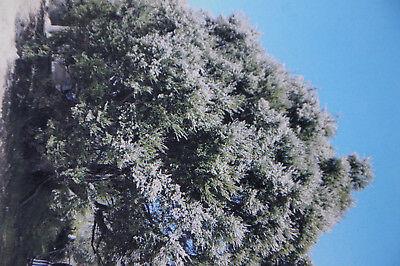 Schwarzer Kardamon 50 Samen Amomum subulatum