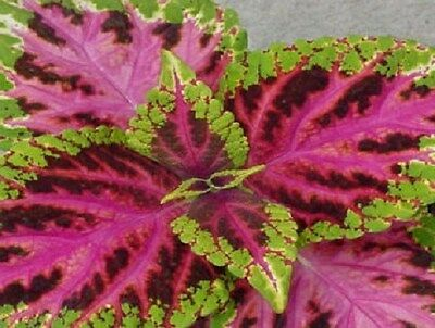 50 Coleus Seeds Jazz Scarlet  Plant Seeds