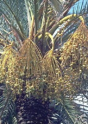 Dattelpalme - Die Nutzpflanze des Orients mit süßen Datteln - frosthart bis -12°