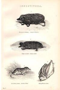 1880 Aufdruck ~ Insectivora Igel Spitzmaus Maulwurf Volans