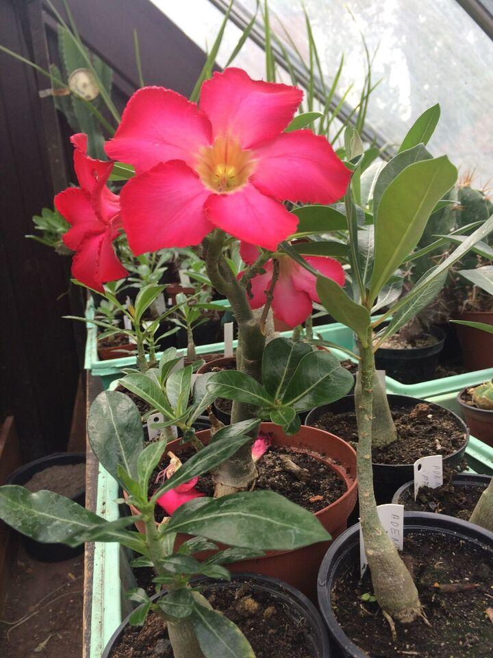 Ørkenrose , Adenium Obesum