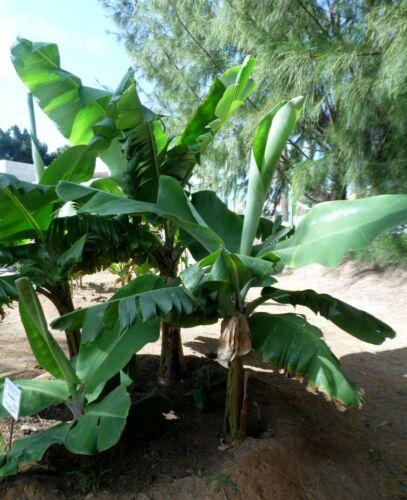 10 Graines De Musa Wild Dwarf Cavendish Bananier Nain
