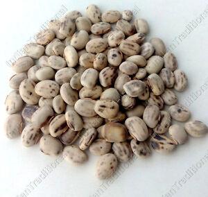 Bulk-White-Mucuna-Pruriens-Velvet-Bean-Kapikachhu-Kauch-Cowitch-Cowhage-Seeds