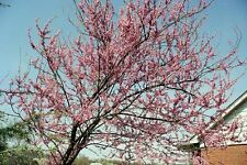 CERCIS CANADENSIS 10 semi seeds Cercis canadese Eastern redbud