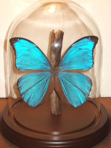 Morpho menelaus Butterfly Dome