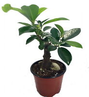 Imported Chinese Ginseng Ficus Bonsai Tree - 4 Pot