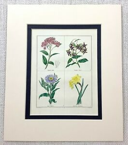 1824-Antique-Botanical-Print-Daffodil-Aster-Periploea-Spiraea-Flowers-MAUND-RARE