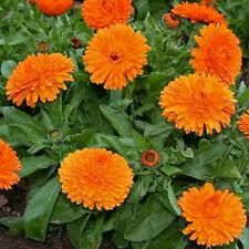 Calendula Pot Marigold-  (Calendula Officinalis) Orange King - 50 Seeds