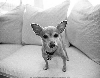 Sweetpea by Kim Levin - Art Print Poster Chihuahua Puppy Dog Photo 11x14