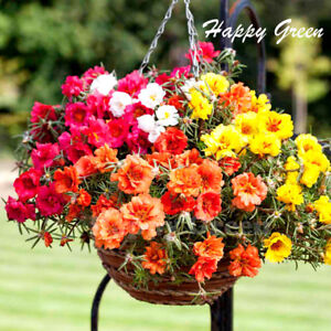 Moss-Rose-DOUBLE-MIX-3500-seeds-Portulaca-Grandiflora-Annual-Flower
