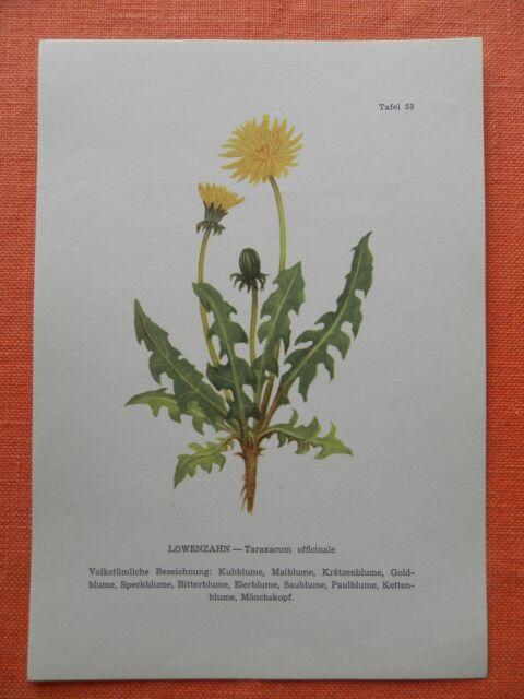 Heilkraut für Wildkräutersalat oder Tee Taraxacum officinale Löwenzahn Samen