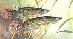 OLD-CARD-IMAGE-Panchax-raye-Aplocheilus-lineatus-Striped-panchax-POISSON-FISH